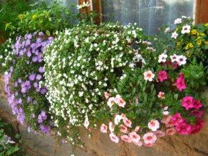 Украшение садовой территории с помощью бакопы