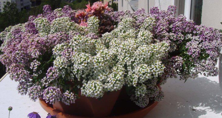 Цветение бакопы в вазоне