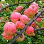 Какие зимние сорта яблонь для средней полосы лучше всего подходят