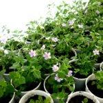 Бакопа ампельная: выращивание из семян и дальнейший уход