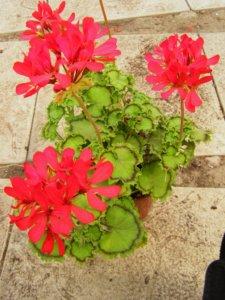Лат. Pelargonium