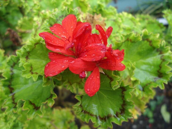 Цветение пеларгонии в домашних условиях