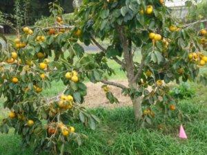 Взрослое дерево хурмы