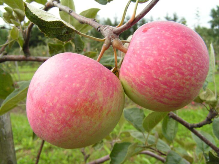 Первый урожай яблок в саду