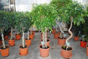 Высокие растения, кототрые украсят комнату