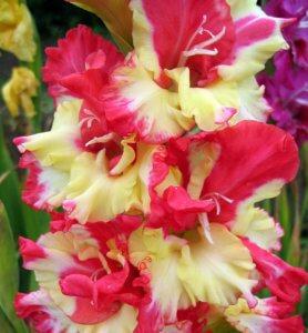 Прекрасное цветение гладиолуса на клумбе