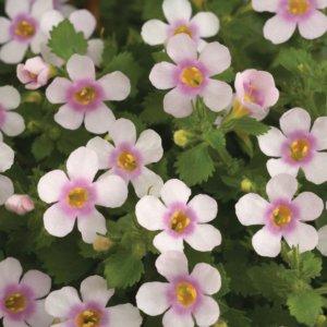 Одно из видов цветения бакопы