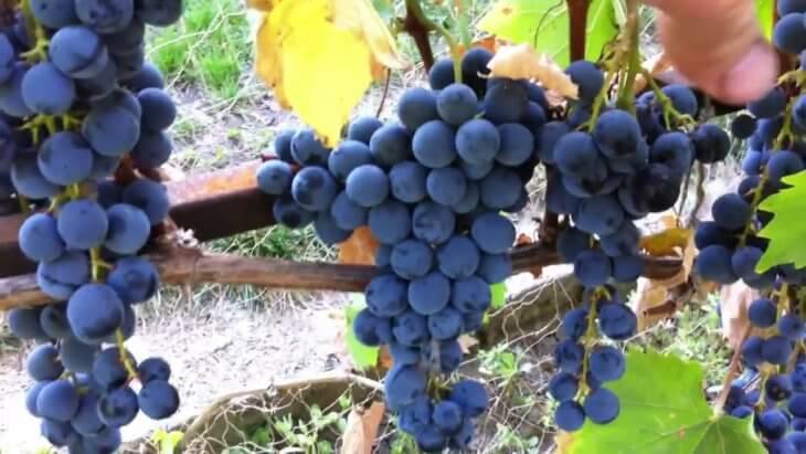 Урожай черного винограда