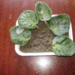 Как разводить фиалки: в воде, грунте, черенками, пасынками и цветоносами