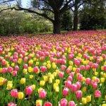 Время посадки тюльпанов осенью: основные характеристики периода