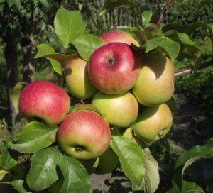 Отличный урожай яблок на собственном огороде