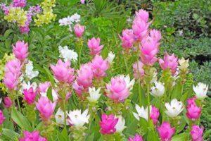 Украшение сада цветами куркумы