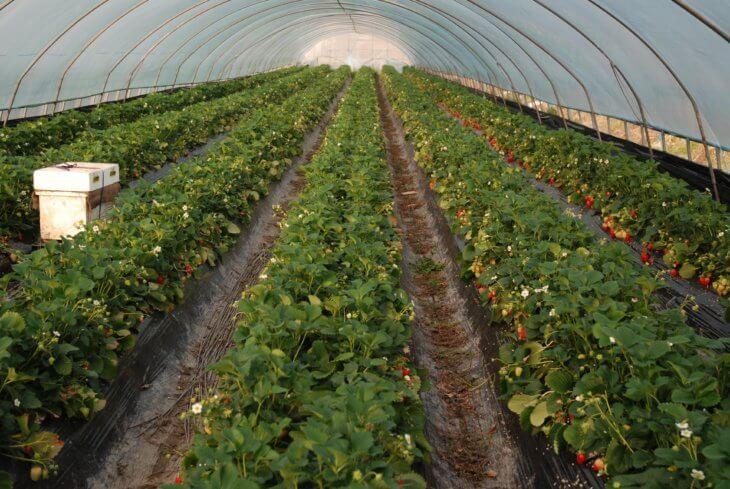 Масштабное выращивание клубники