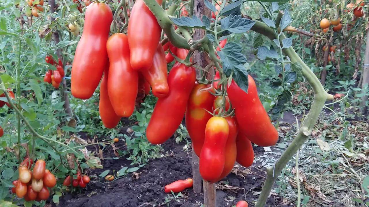 Томат мужское достоинство: характеристики и технология выращивания