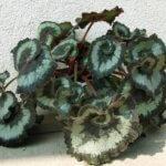 Бегония декоративно лиственная: описание растения и методы размножения