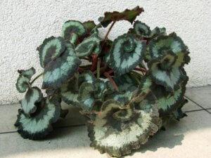 Лат. Begonia