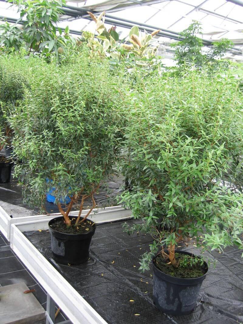 Мирт: размножение в домашних условиях и правила выращивания