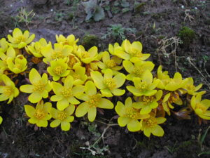 Весенник зимующий: какими методами размножается и как осуществляется полив