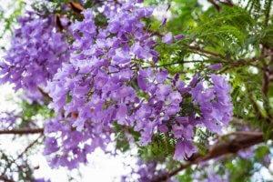 Джакаранда: где растет фиалковое дерево, ботаническое описание и основной уход