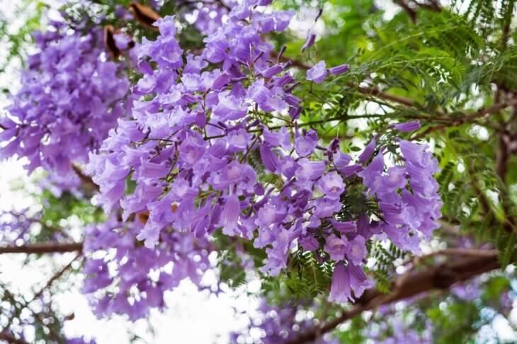 Лат. Jacaranda mimosifolia