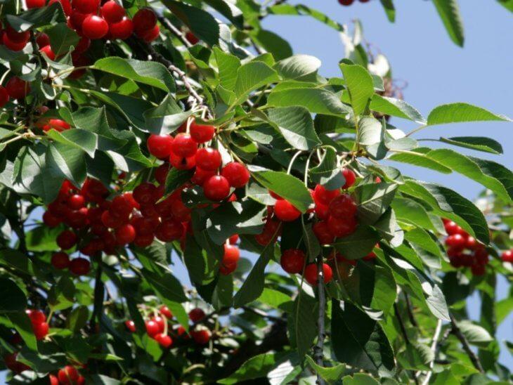 Созревание ягод черешни