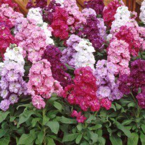 Как правильно выращивать левкой цветы многолетники