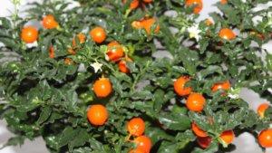 Особые условия для выращивания паслена перцевидного
