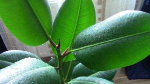 Как в домашних условиях размножается фикус каучуконосный: основные характеристики