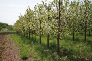 Молодые деревья черешни