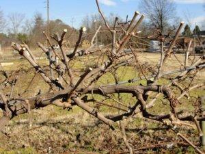 Как омолодить старый куст винограда: правила проведения процедуры