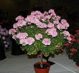 Герань: вредители и болезни, методы сохранения растения