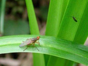 Если завелась мошка в цветах комнатных что делать и как бороться с насекомым?