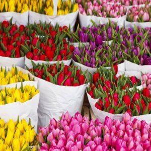 Прекрасное цветение тюльпанов