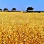 Культурные зерновые растения: основные характеристики