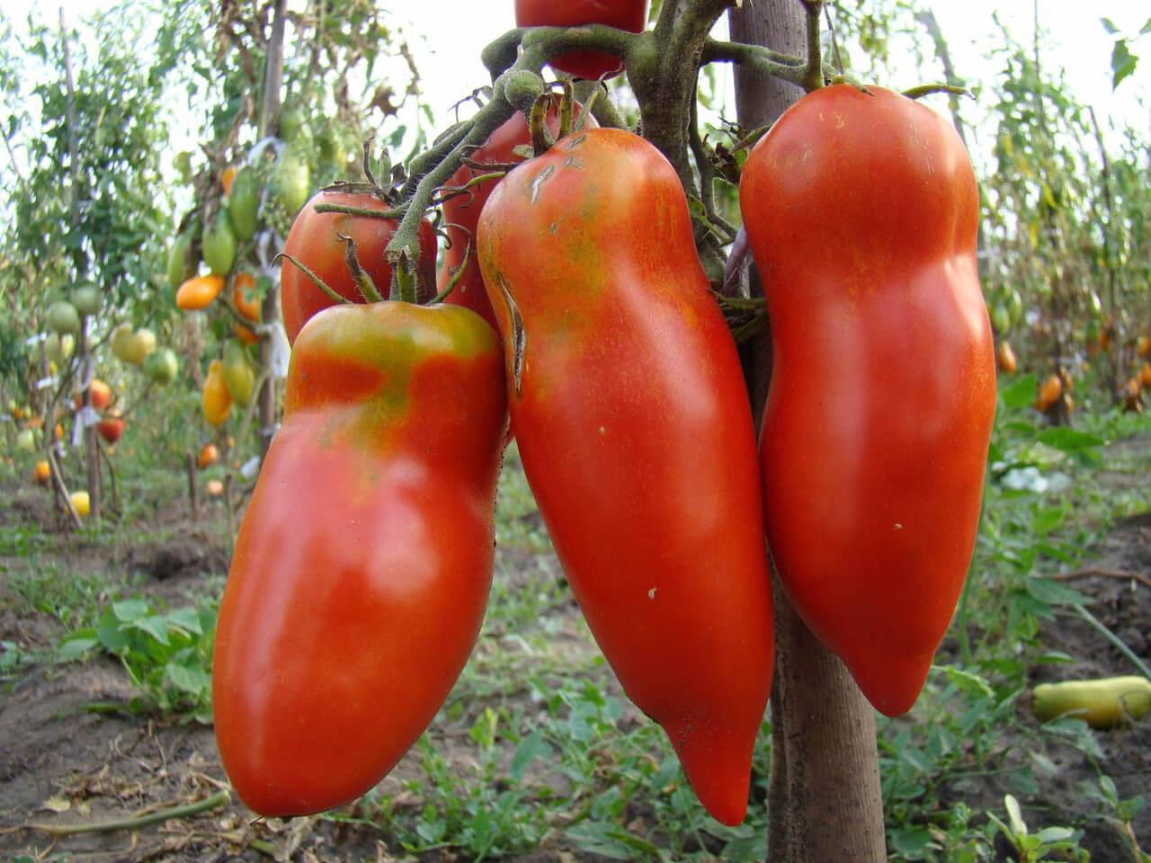 Томат Московская Грушовка: как получить хороший урожай