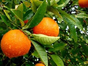 Созревание плодов апельсина в саду