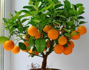 Выращивание апельсина на подоконнике