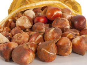 Лучше всего выбрать сухое хранение для луковиц тюльпана