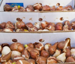 Вид здоровых луковиц