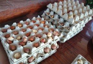 Один из бюджетных вариантов хранения луковиц тюльпана