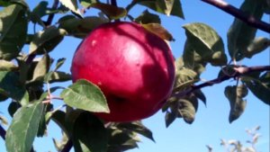 Поспевание яблок