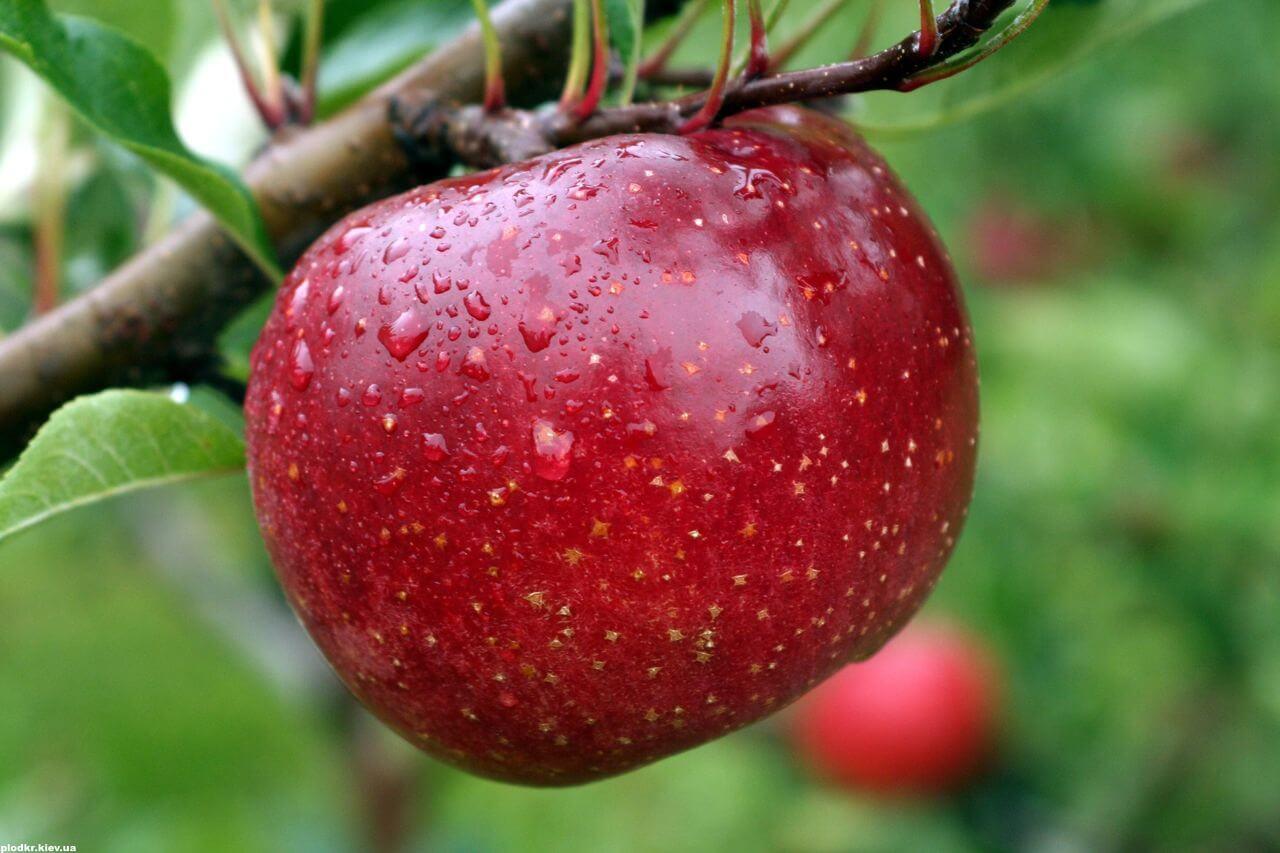 Яблоня Ред Фри: описание сорта, условия выращивания и основной уход