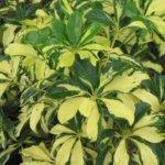 Комнатный цветок Шеффлера: уход, пересадка и способы борьбы с вредителями