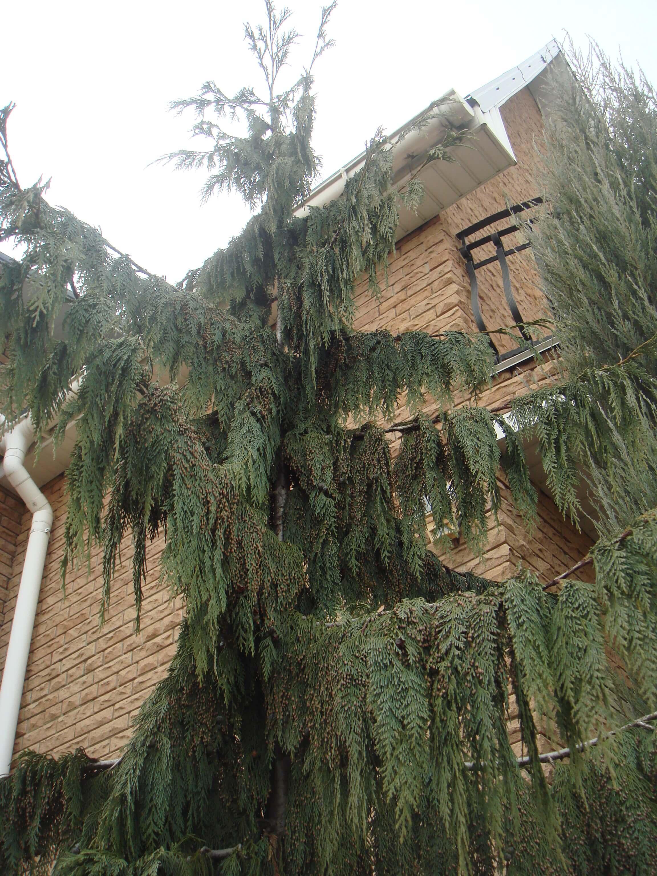 Широкораскидистый нутканский Кипарисовик Пендула: особенности выращивания