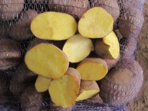 Так выглядят здоровые плоды картофеля