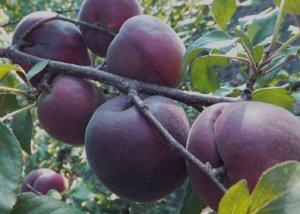 Абрикос Черный бархат: описание сорта и основы его культивирования