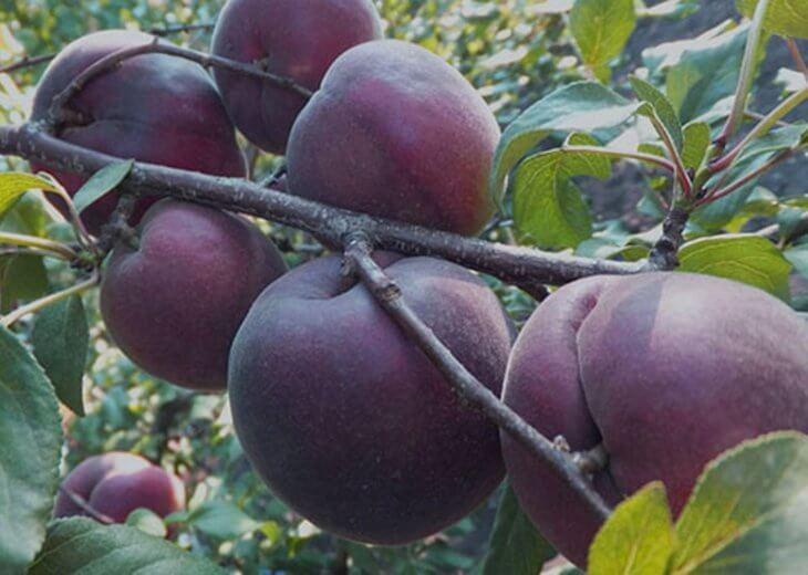 Лат. Prúnus armeníaca