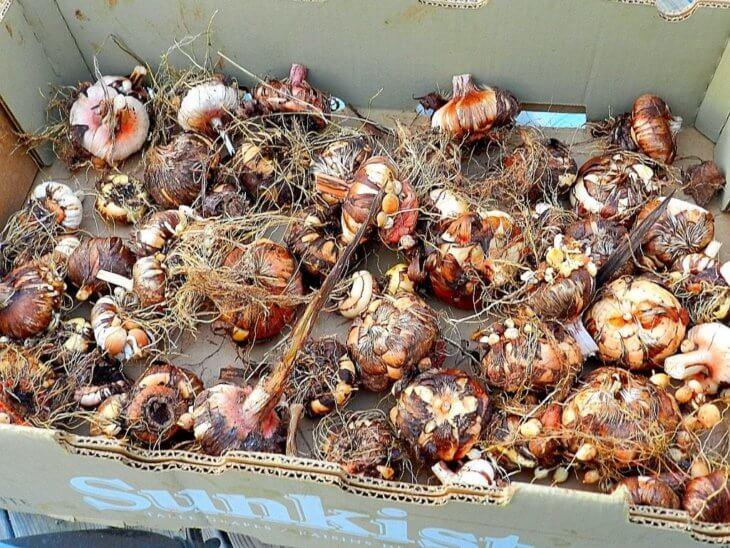 Хранение луковиц в коробке