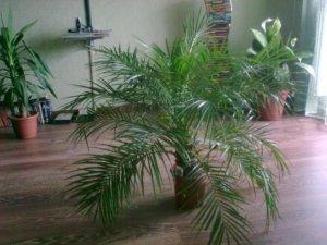 Взрослое растение в домашних условиях