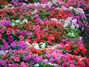 Цветение бальзамина на садовом участке